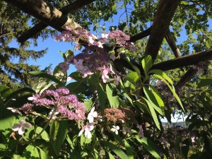 hydrangea aspera Velvet Lace