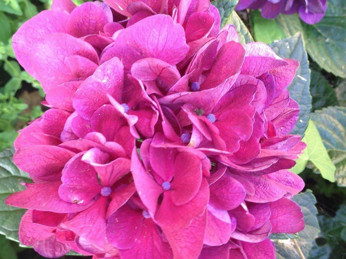 Vivaio Margine Rosso : Hydrangea macrophylla i giardini e le fronde vivaio serravalle