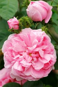 rosa chapeau de napoleon