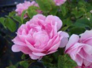 rose_150x150