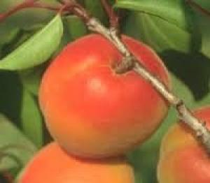 albicocco tardif de bordaneil