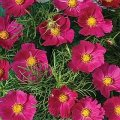 cosmos hot pink