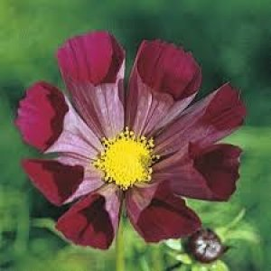 cosmos pied piper red