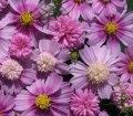 cosmos pink popsocks