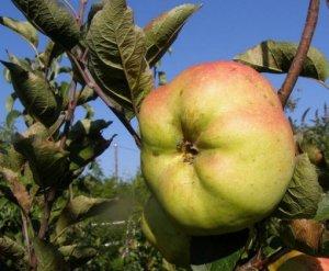 mela calvilla rossa d'inverno