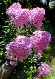 phlox-paniculata-miss-pepper