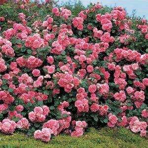 rosa les quatre saisons
