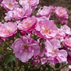 rosa-louis-bleriot