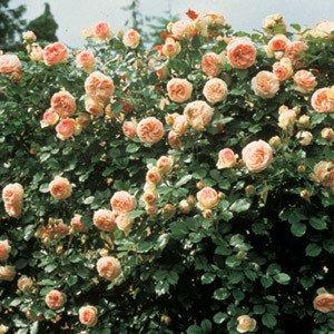 rosa-pierre-de-ronsard