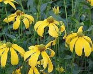 rudbeckia-nitida-juligold