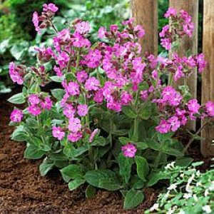 silene-robotii-rolly's-favourite
