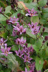 tricyrtis-formosana-dark-beauty