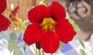 tropaeolum-alaska-raspberry