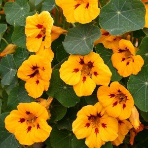 tropaeolum-canary-yellow