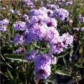 verbena-f.lilacina-polaris