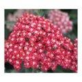 achillea-millefolium-belle-epoque