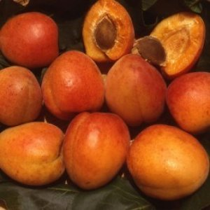 albicocco pisana