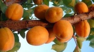 albicocco sungiant