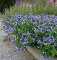 amsonia-tabernaemontana-blue-ice