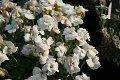 aubrieta-x-cultorum-winterberg-blaukissen-2274654_1