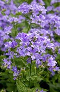 campanula-lactiflora-prichard