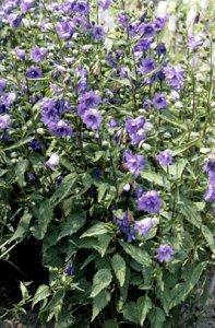campanula-trachelium-bernice