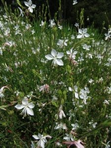 gaura whirling butterfly