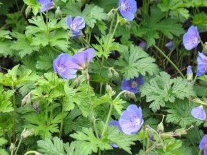 geraniuma himalayense johnson blue