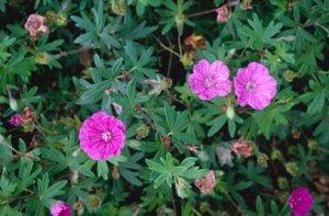 geraniuma sanguineum ankum's pride