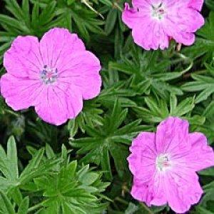 geranium sanguineum elsbeth