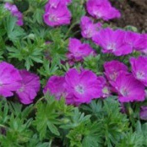 geranium-sanguineum-max-frei