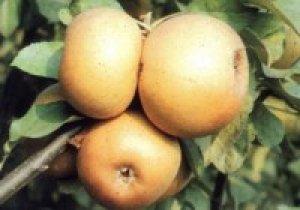melo renetta grigia di torriana