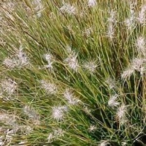 pennisetum alopecuroides little honey