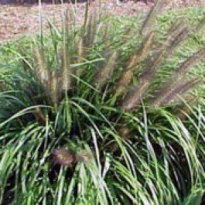 pennisetum alopecuroides var.viridescens