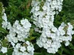 phlox maculata mrs lingard