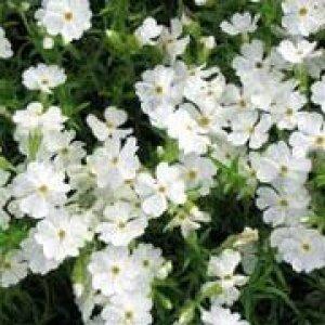 phlox subulata maischnee