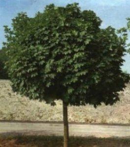 acero burgerianum