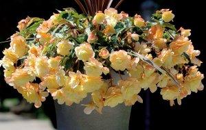 begonia belleconia chardonnay