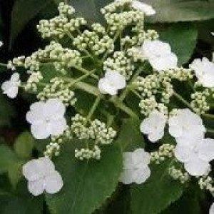 hydrangea semiola