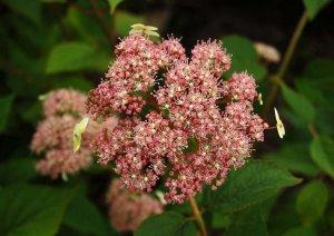 hydrangea pink pincushion