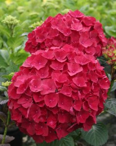 hydrangea magical ruby red