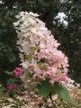 hydrangea angels blush