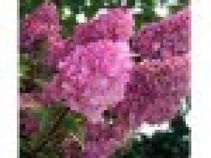 hydrangea paniculata sundae