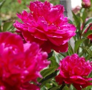 paeonia shawnee chief