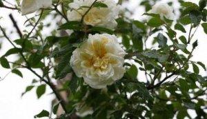 rosa alberic barbier