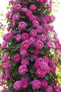 rosa allegro