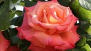 rosa cristophe colomb