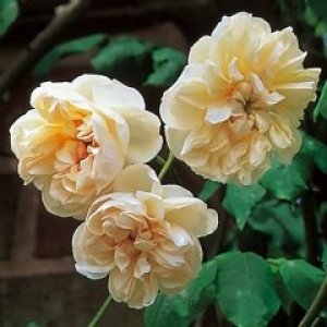rosa desprez a fleurs jaunes