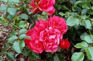rosa lancashire