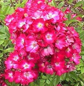 rosa marjorie fair
